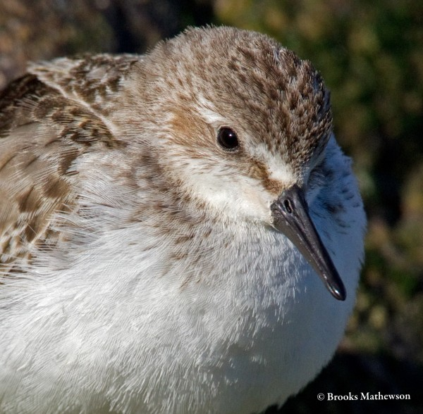 A Semipalmated Sandpiper hunkers down on a late fall day near the Charlestown Breachway.