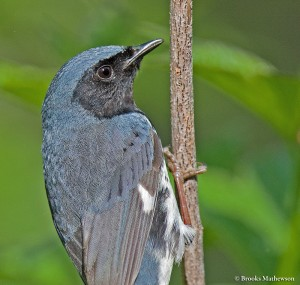 Black-throatedBlueWarbler