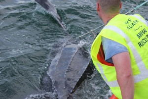 Rescuers from Mystic Aquarium freed a Leatherback turtle from fishing equipment last week. (submitted)