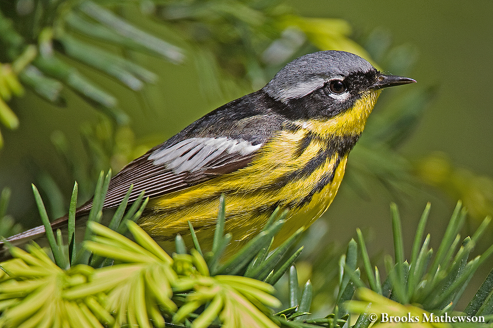 magnolia warbler fall - photo #32