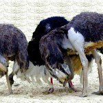 A bit more on Rhode Island's ostriches