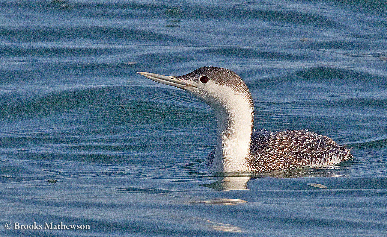 Red-throatedLoon-5351-c