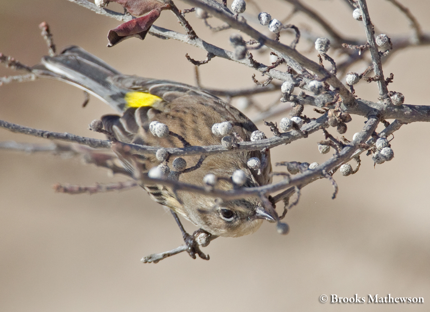 Yellow-rumped Warbler In Non-breeding Plumage