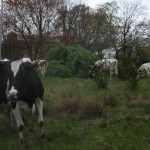 These cows could really cost East Greenwich taxpayers a lot of money if Rodney Bailey decided to stop milking them. Perhaps we should help him keep at it?