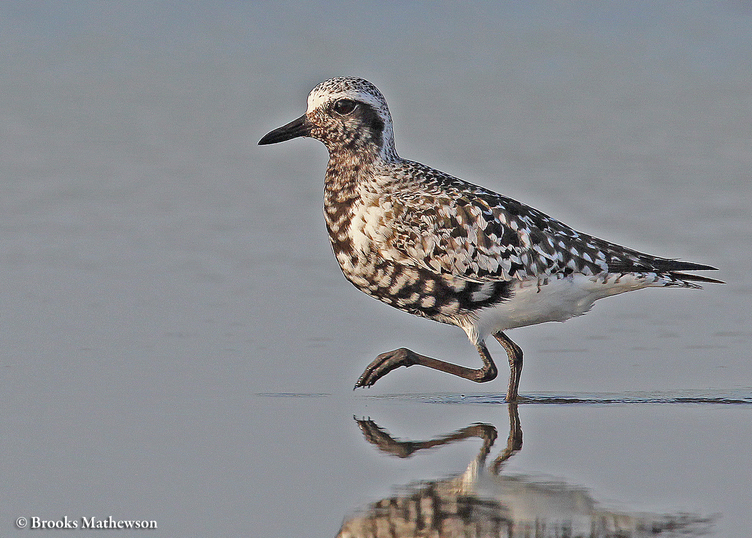 A Black-bellied Plover at risk of existential crisis as the blackness of his belly recedes in the fall