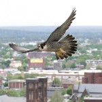 A falcon in flight over downtown Providence. (Photo courtesy of Peter Green)