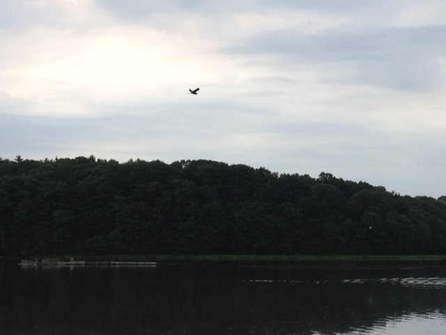 A great blue heron flies over Greenwich Cove. (Photo by Bob Plain)