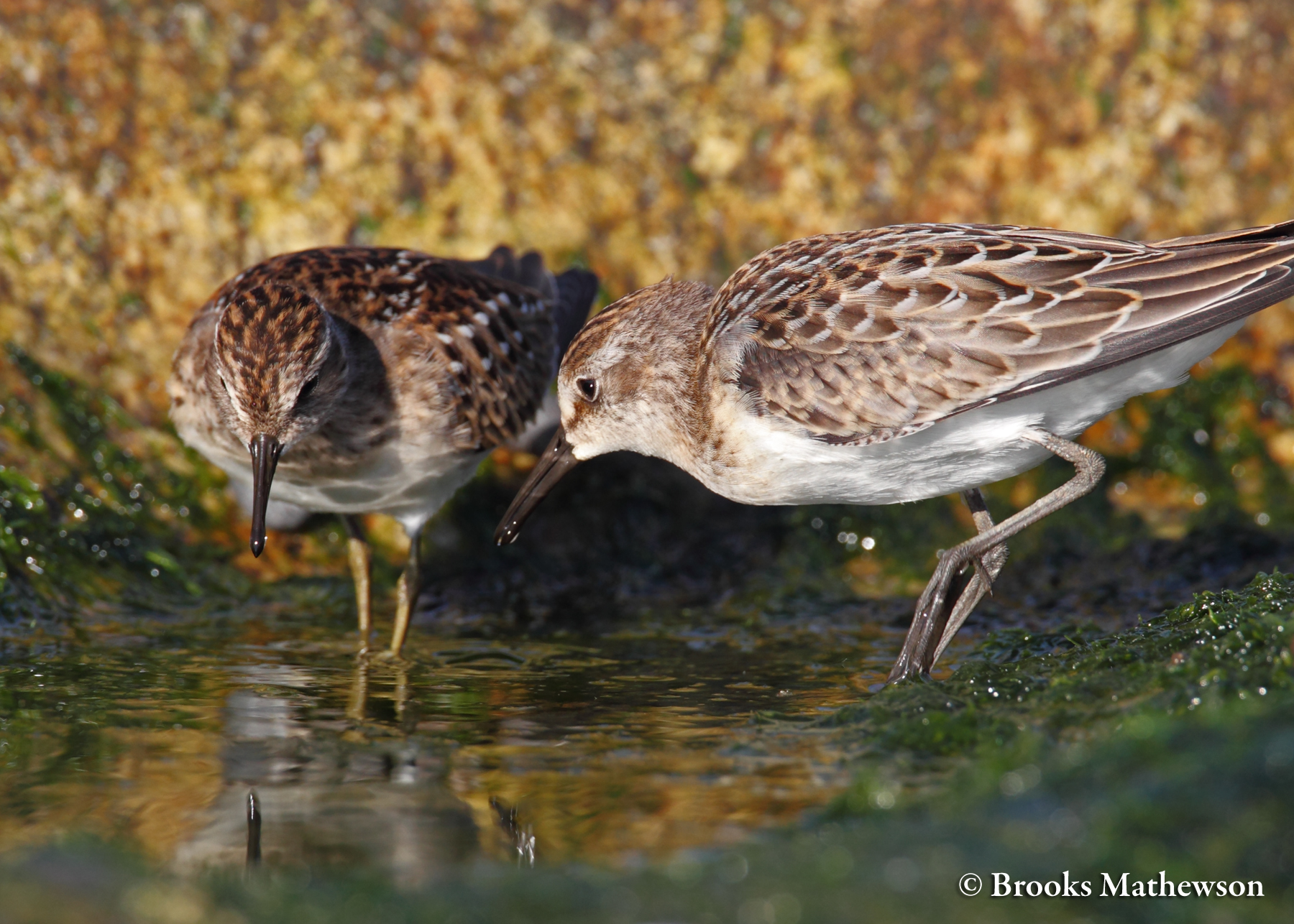 A Least and Semipalmated Sandpiper find a way to get along in the same tidal pool despite their differences in leg color.