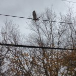 This red tail hawk was looking for a place to hole up for Hurricane Sandy. (Photo by Bob Plain)