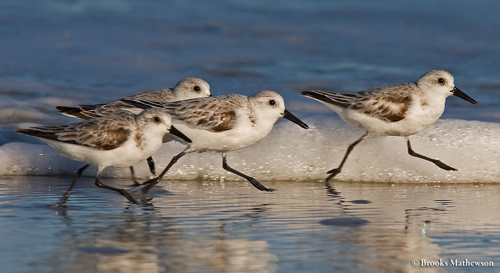 Sanderlings in the intertidal zone.