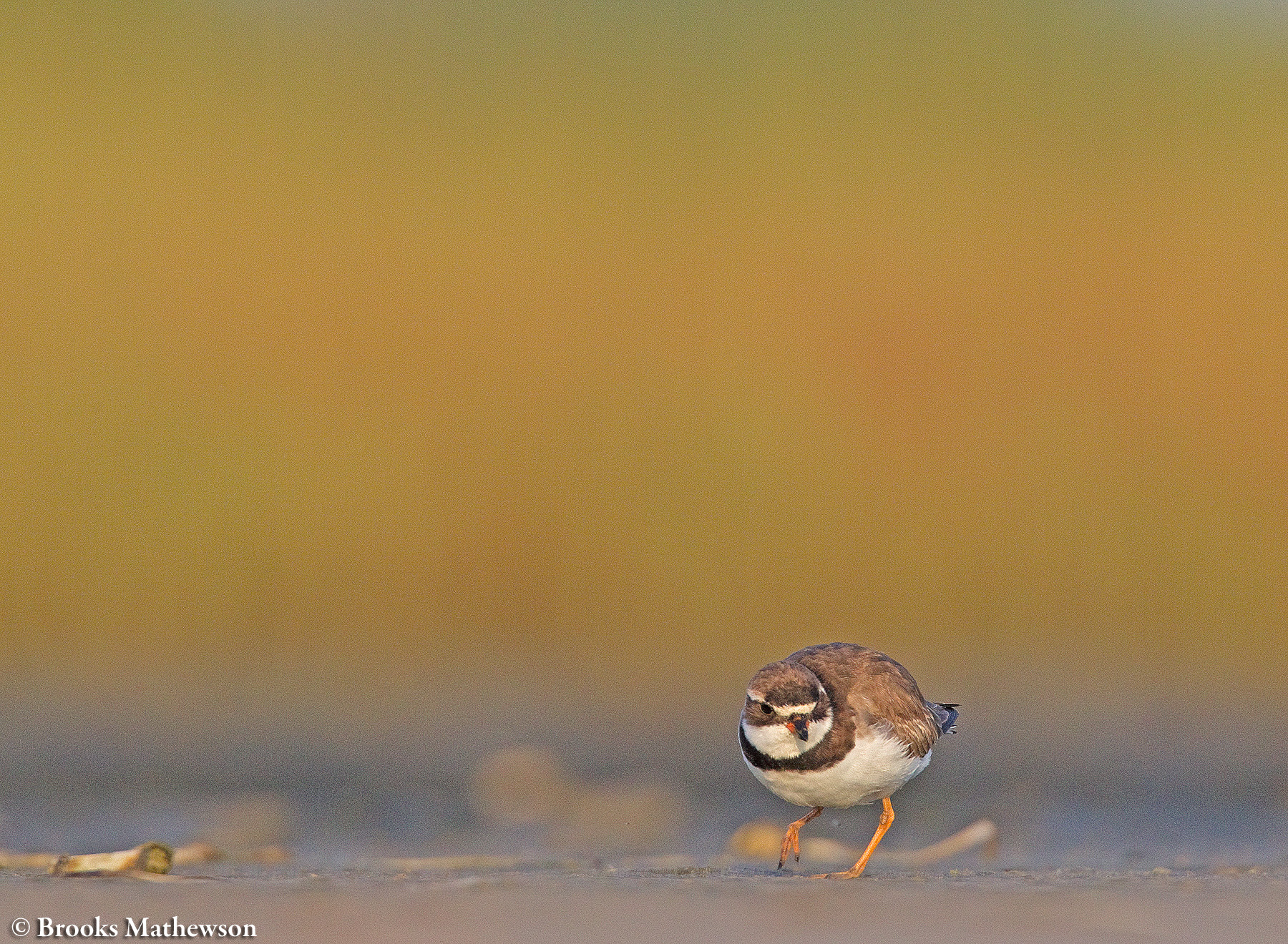 A Semipalmated Plover forages on the mudflats in early fall.